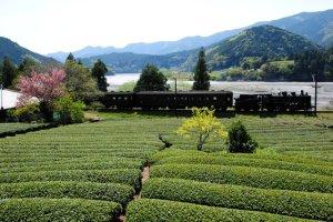 画像1: 川根茶 静岡産 やぶきた種 浅蒸し+深蒸し茶 (1)